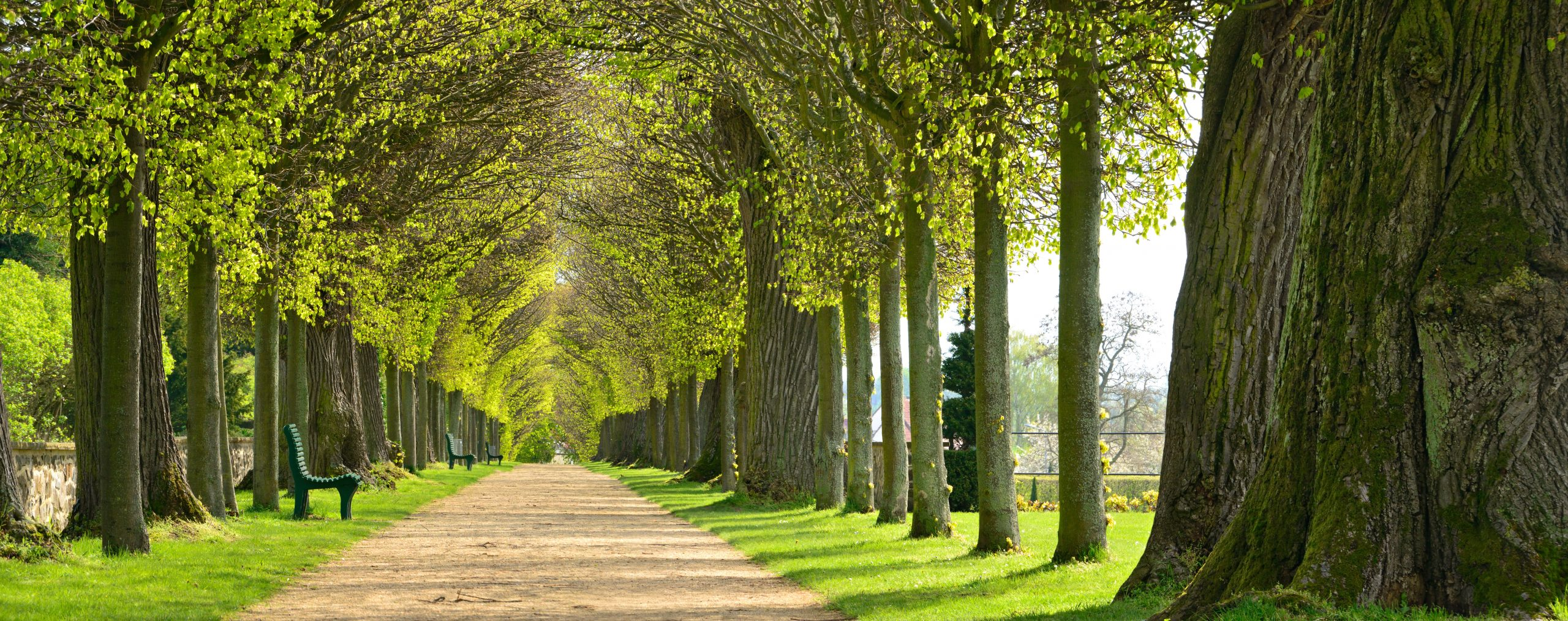 Avenue,Of,Linden,Trees,,Tree,Lined,Footpath,Through,Park,In